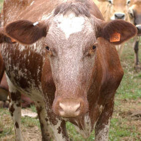 Milking Shorthorn dairy cow