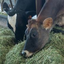 TMK-Farm_cows