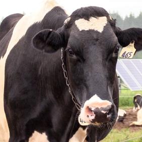 Holstein at Cloud Cap Dairy Farm