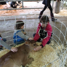 1 3 gs petting calf